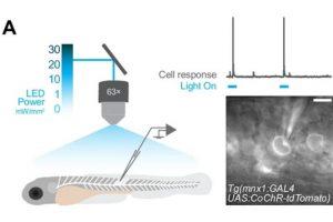 Le Core Facility d'Electrophysiology est associé à une publication de Claire WYART (ICM) sur la caractérisation fonctionnelle des opsines